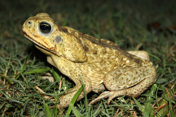 MNA Belize Cane Toad1