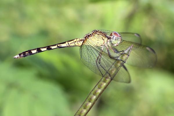 MNA Belize Dragonfly1