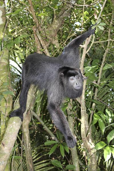 MNA Belize Howler Monkey1