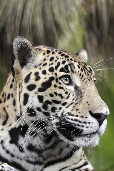 MNA Belize Jaguar1