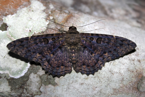 MNA Belize Mexican Blue Wave Moth1