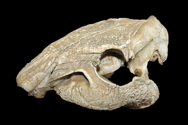 MNA Belize Paca Skull1