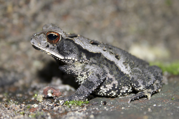 MNA Belize Rainforest Toad1