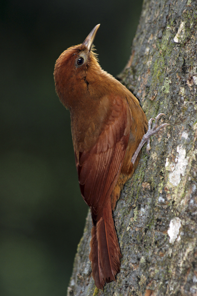 MNA Belize Ruddy Woodcreeper1
