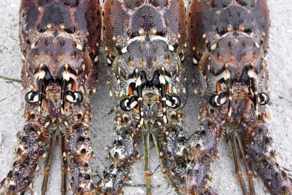 MNA Belize Spiny Lobsters1