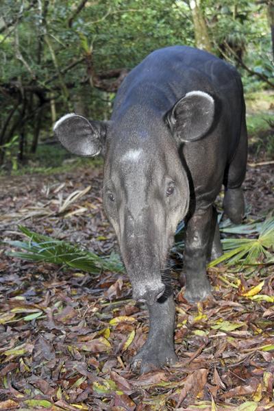 MNA Belize Tapir1
