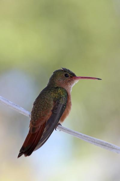 Small Belize Cinnamon Hummingbird1