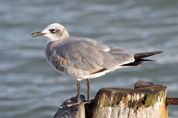 Small Belize Laughing Gull1