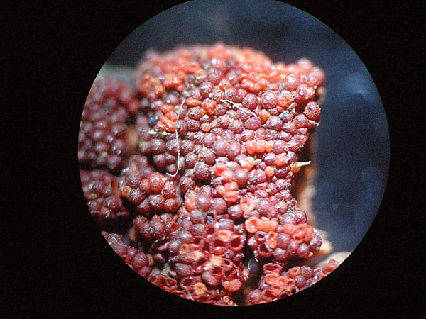 Nectria coccinea -Clarke Gardens
