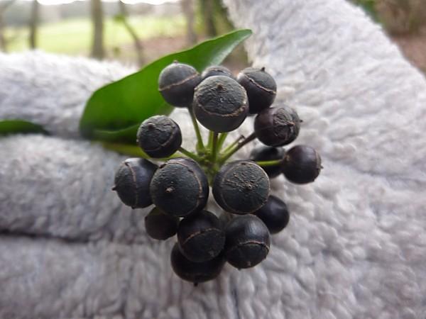 02 Eastham ivy berries