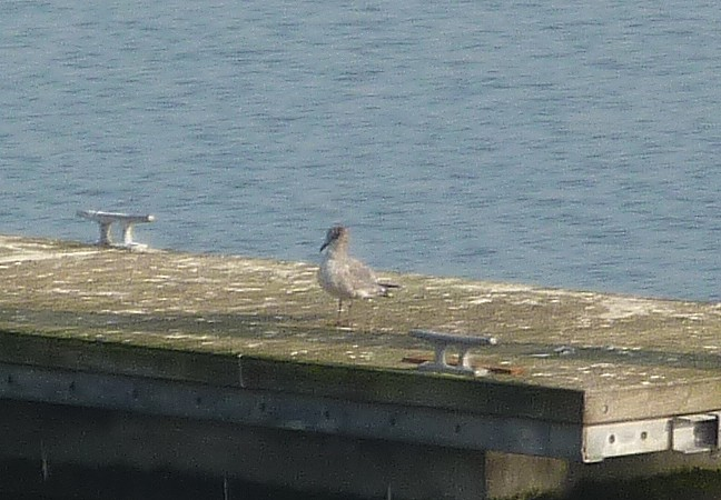 05 New Brighton Laughing gull