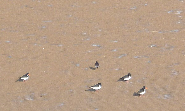 05 New Brighton oystercatchers