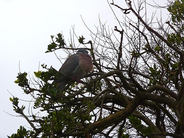07 Waterloo Wood Pigeon