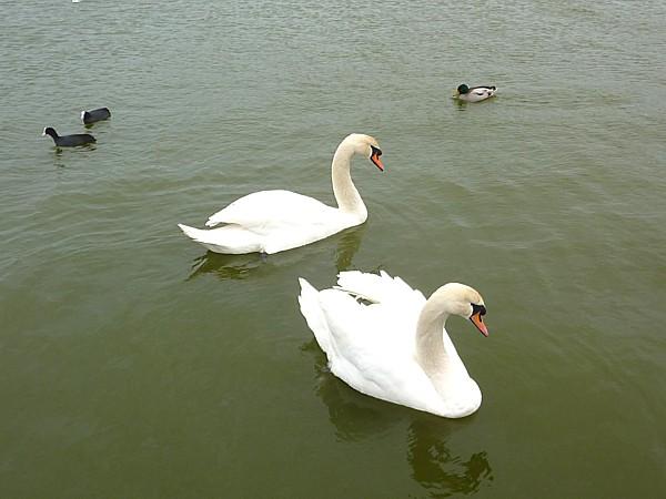 07 Waterloo swans