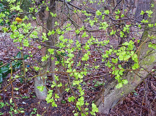 10 TPT Hawthorn leafing