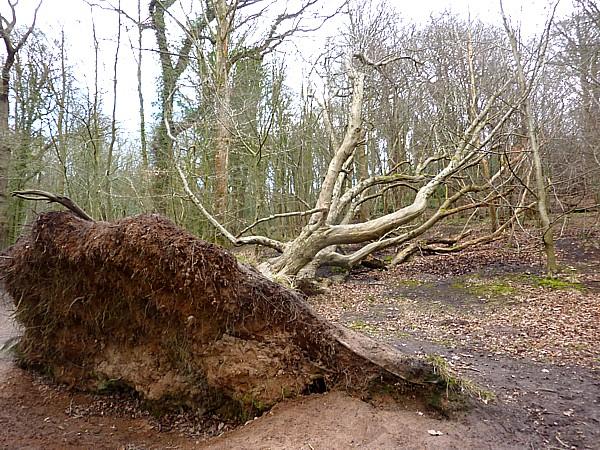 11 Dibbinsdale fallen tree