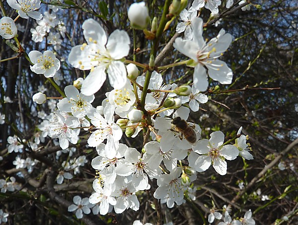 12 Thornton Hough Blackthorn and insect