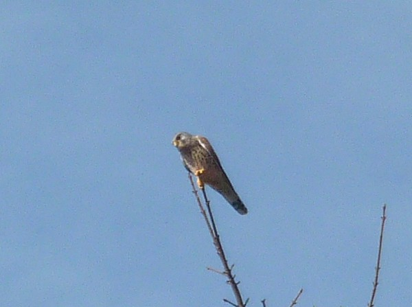 12 Thornton Hough Kestrel