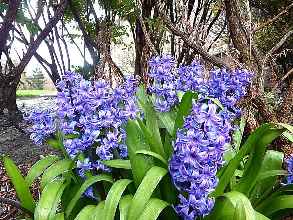 13 City hyacinths