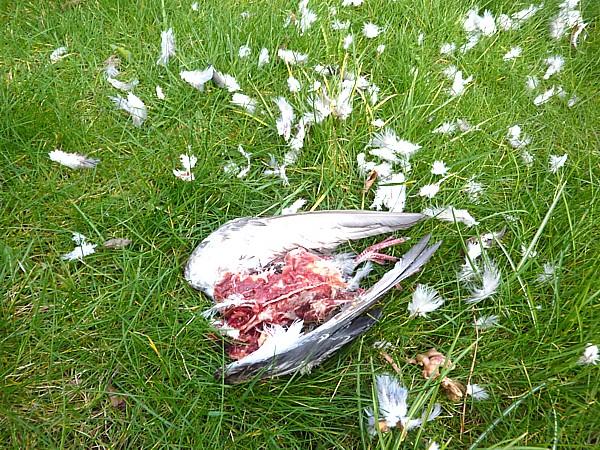 14 Sparrowhawk victim