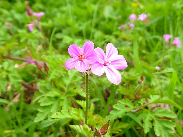 16 Hesketh Herb Robert