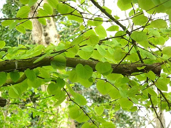 16 Hesketh Katsura leaves