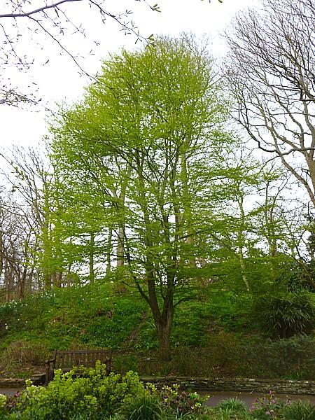 16 Hesketh Katsura tree