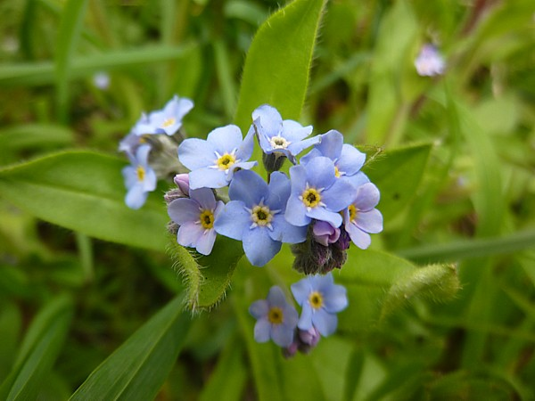 16 Hesketh forget me not