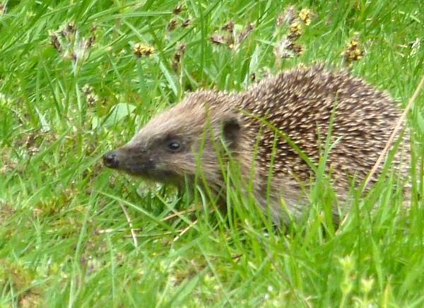 16 Hesketh hedgehog