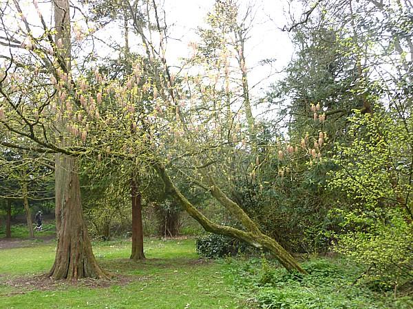 16 Hesketh leaning tree