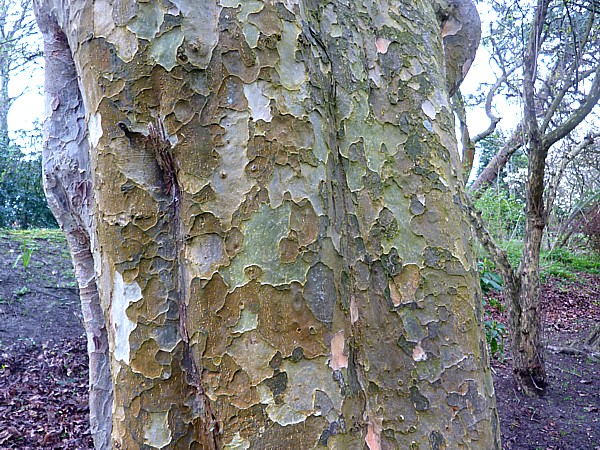 16 Hesketh persian ironwood bark