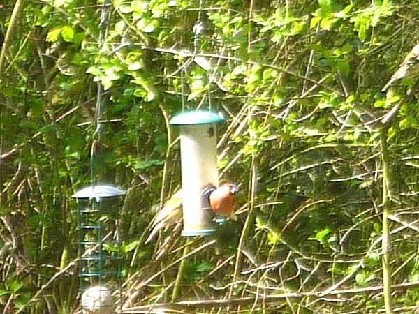 17 Orrell bullfinch