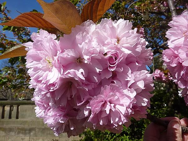 17 Orrell cherry blossom