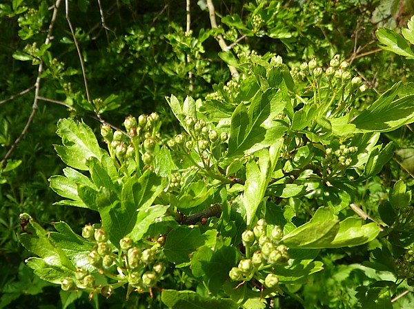 17 Orrell hawthorn buds
