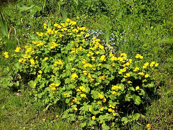 17 Orrell marsh marigold