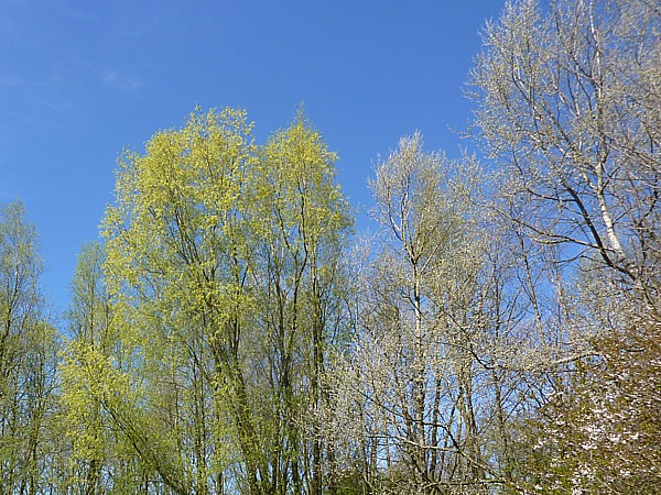17 Orrell trees leafing