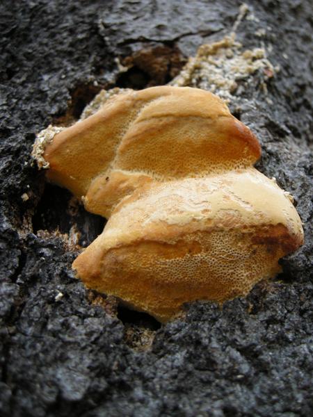 MNA Hapalopilus nidulans