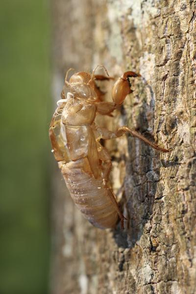 MNA Thailand Cicada Exoskeleton1