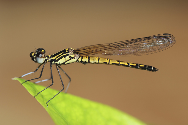 MNA Thailand Dragonfly1