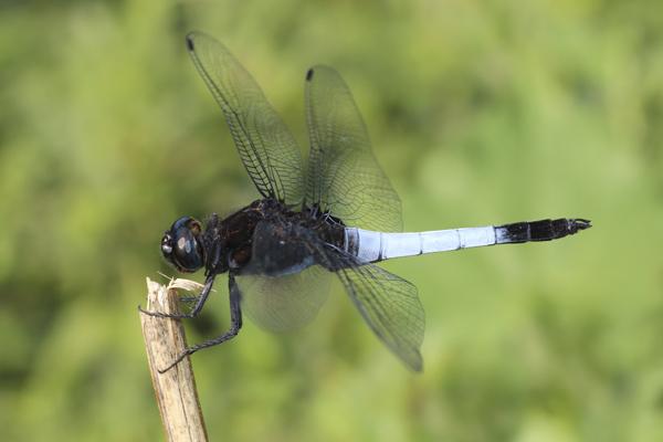 MNA Thailand Dragonfly2