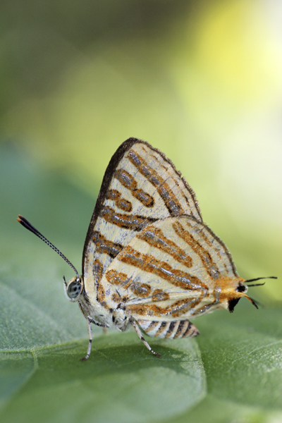 MNA Thailand Hairstreak Butterfly1