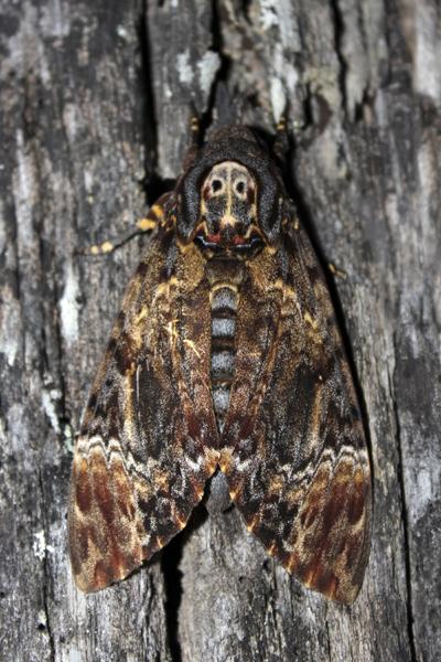 MNA Thailand Hawk Moth1