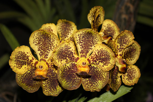 MNA Thailand Orchid1