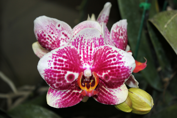 MNA Thailand Orchid2