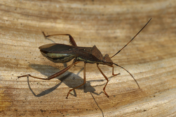 MNA Thailand Plant Bug1