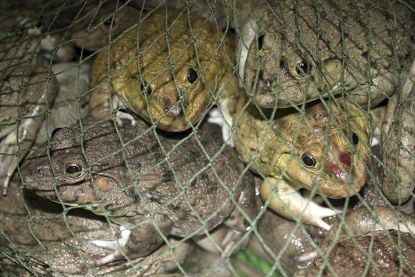 MNA Thailand Toads In Net1
