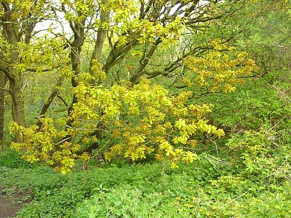 18 Storeton oak leafing
