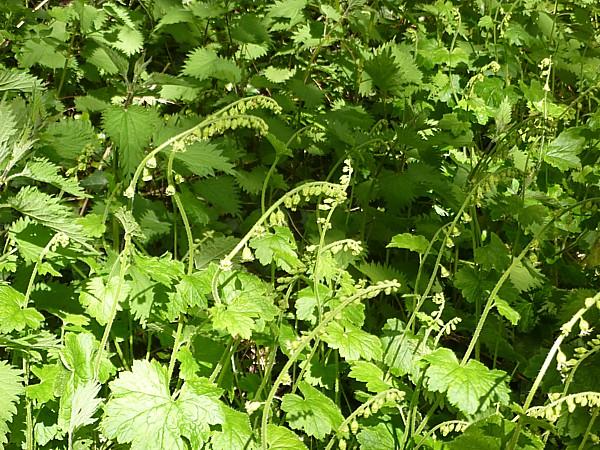 18 Storeton unknown plant