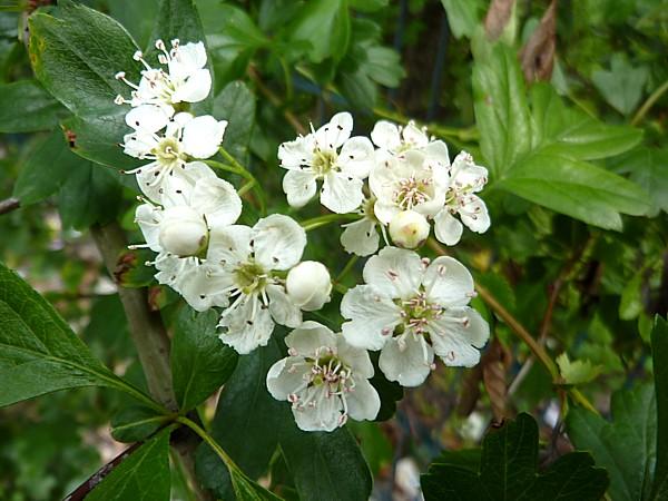 19 Bluebell Hawthorn blossom