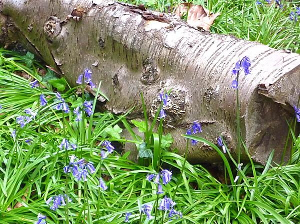 19 Bluebell bluebells